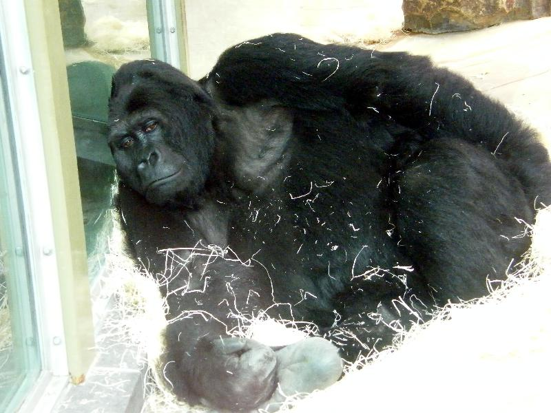 aufmerksamkeitsvideo mit gorilla