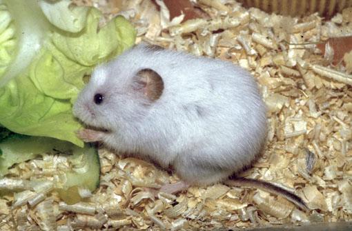 übersicht Der Fellvarianten Einheimischer Mäusearten Kleinsäuger