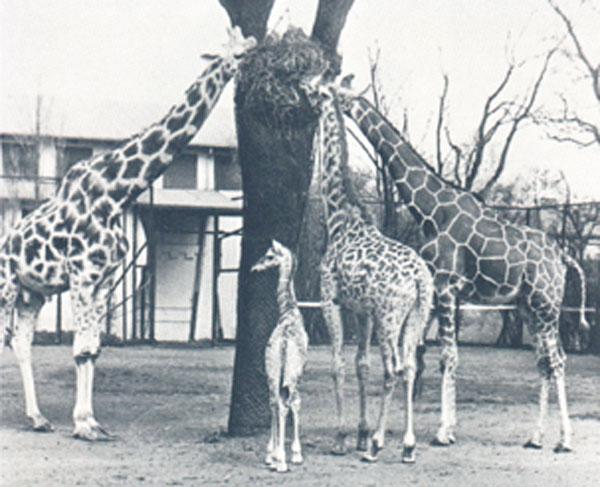 tier giraffen urform